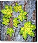 Maple Mania 12 Canvas Print
