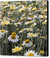 Mass Of Daisies Canvas Print by Denice Breaux