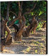 Mastic Tree   Canvas Print