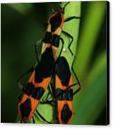 Mating Milkweed Bugs Canvas Print by April Wietrecki Green