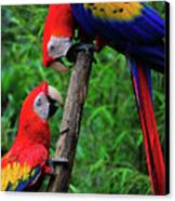 Meeting Of The Macaws  Canvas Print