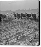 Men And Mules Cultivating Cotton Canvas Print