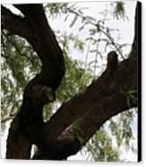 Mesquite Tree Canvas Print