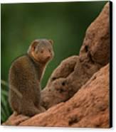 Mini Mongoose Canvas Print by Joseph G Holland