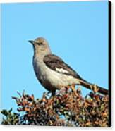 Mockingbird . 7682 Canvas Print by Wingsdomain Art and Photography