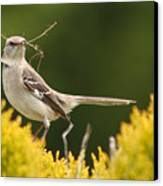 Mockingbird Perched With Nesting Material Canvas Print