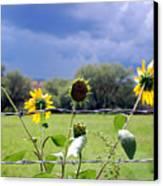 Monsoon Sunflowers Canvas Print
