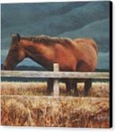 Montana Mare Study Canvas Print