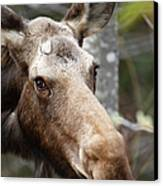 Moose - White Mountains New Hampshire Usa Canvas Print