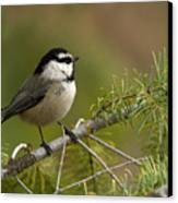 Mountain Chickadee Canvas Print by Beve Brown-Clark Photography