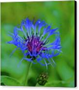 Mountain Cornflower Canvas Print by Byron Varvarigos