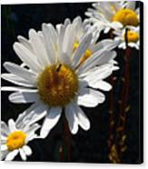 Mountain Daisy Canvas Print