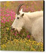 Mountain Goat In Colorful Field Of Flowers Canvas Print