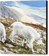 Mountain Goats 1 Canvas Print