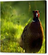 Mr Pheasant Canvas Print