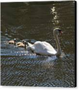 Mute Swan With Three Cygnets Following Canvas Print by Louise Heusinkveld