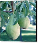My Brothers Pear Tree Canvas Print