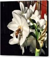 Narcissus And The Bee 1 Canvas Print by Daniele Smith