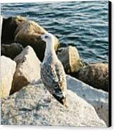 Narragansett Gull Canvas Print