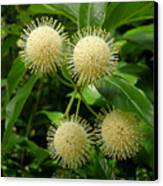Nature In The Wild - Pin Cushions Of Nature Canvas Print