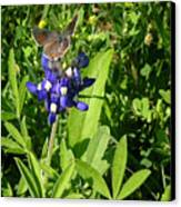 Nature In The Wild - Those Sweet Blues Canvas Print
