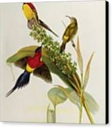 Nectarinia Gouldae Canvas Print by John Gould