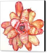 Neoregelia Small Wonder Canvas Print by Penrith Goff