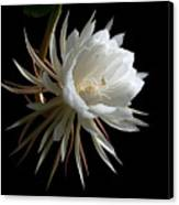 Night-blooming Cereus 1 Canvas Print by Warren Sarle