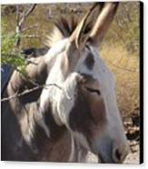 Oatman Burro Canvas Print