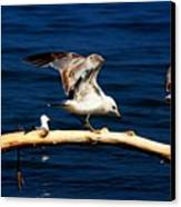 Off You Gull Canvas Print