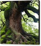 Old Tree In Kyoto Canvas Print by Carol Groenen