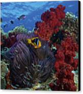 Orange-finned Clownfish And Soft Corals Canvas Print