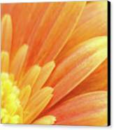 Orange Gerbera Petals Canvas Print by Wim Lanclus