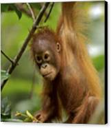 Orangutan Pongo Pygmaeus Baby Swinging Canvas Print by Christophe Courteau