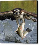 Osprey Catching Trout Canvas Print by Scott  Linstead