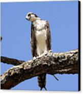 Osprey In The Trees Canvas Print
