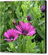 Osteospermum Flowers Canvas Print