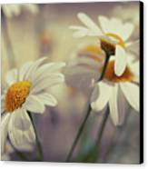 Oxeye Daisy Flowers Canvas Print