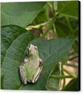 Pacific Tree Frog Canvas Print by Shannon Gresham