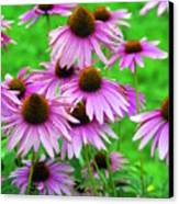 Pale Purple Coneflowers Canvas Print
