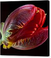 Parrot Tulip 11 Canvas Print by Robert Ullmann