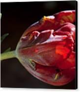Parrot Tulip 7 Canvas Print by Robert Ullmann