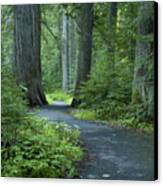 Path Through The Cedars Canvas Print