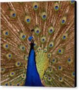 Peacock 01 Canvas Print