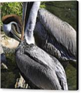 Pelican Duo Canvas Print by Deborah Benoit