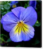 Perfect Pansy Canvas Print