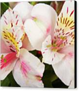 Peruvian Lilies  Flowers White And Pink Color Print Canvas Print by James BO  Insogna