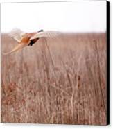 Pheasant In Flight Canvas Print by Gabriela Insuratelu