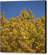 Pin Oaks In The Fall No 2 Canvas Print