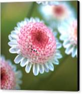 Pincushion Flowers Canvas Print by Kathy Yates